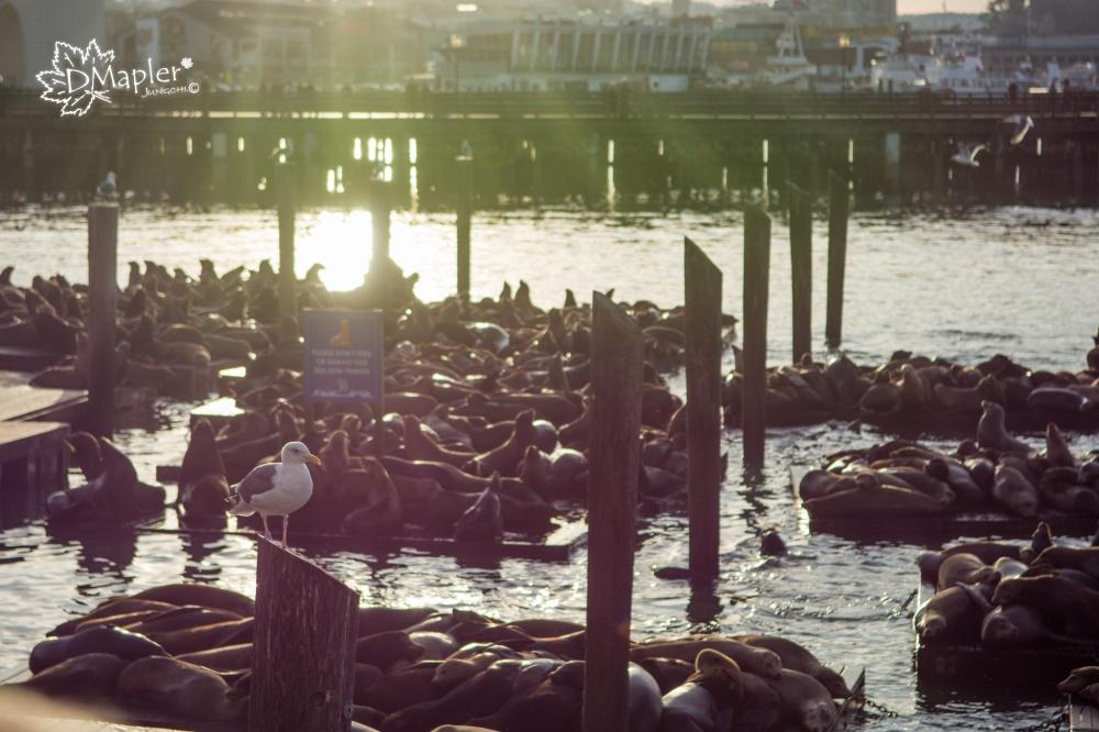 美國舊金山|漁人碼頭(Fisherman's Wharf) Pier39看海獅餵海鷗